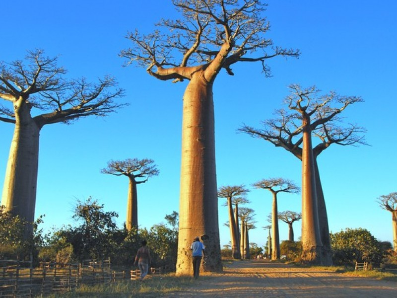 MADAGASCAR_MORONDAVA_baobab2