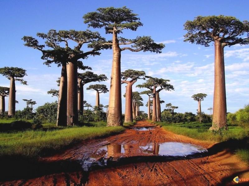 MADAGASCAR_MORONDAVA_baobab3