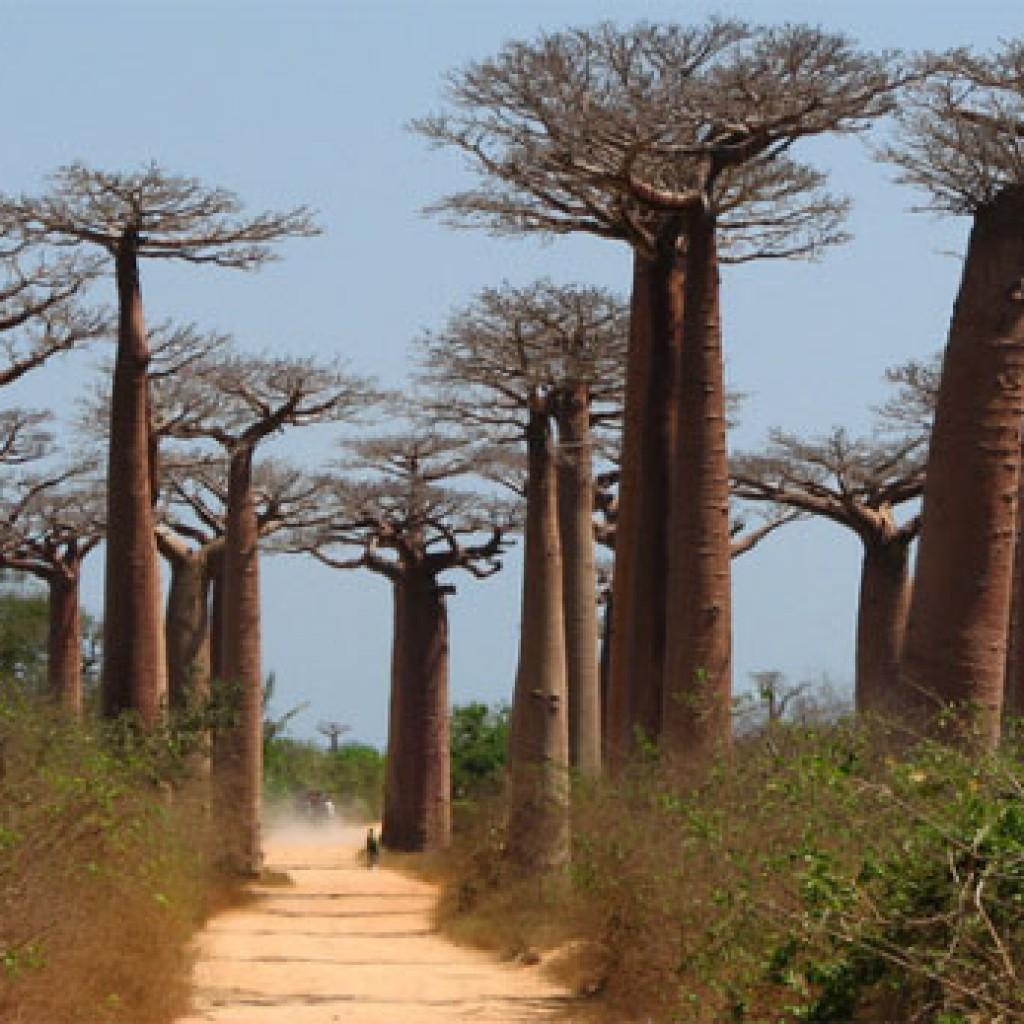 MADAGASCAR_MORONDAVA_baobab4