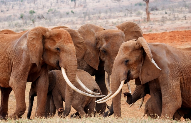 kenya_elefanti6