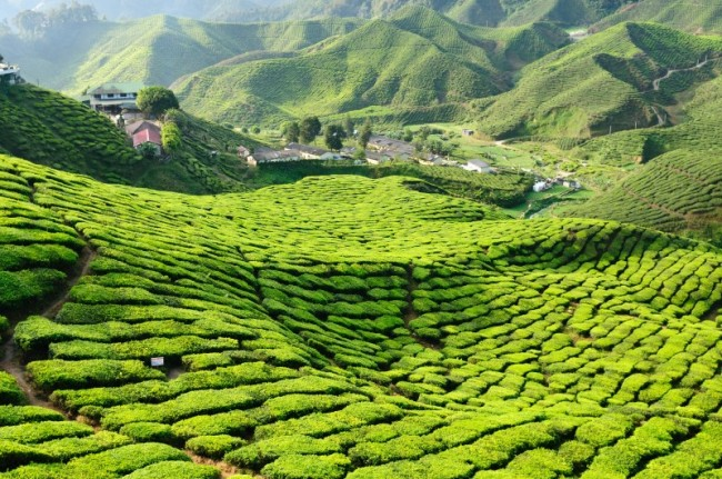piantagioni-te-malesia-e1476289524273